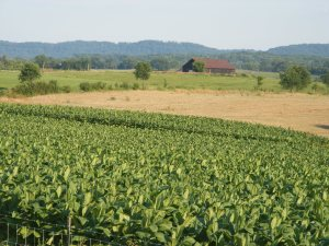 A Kentucky tobacco field